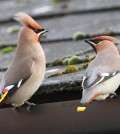 Waxwings (c) Margaret Holland