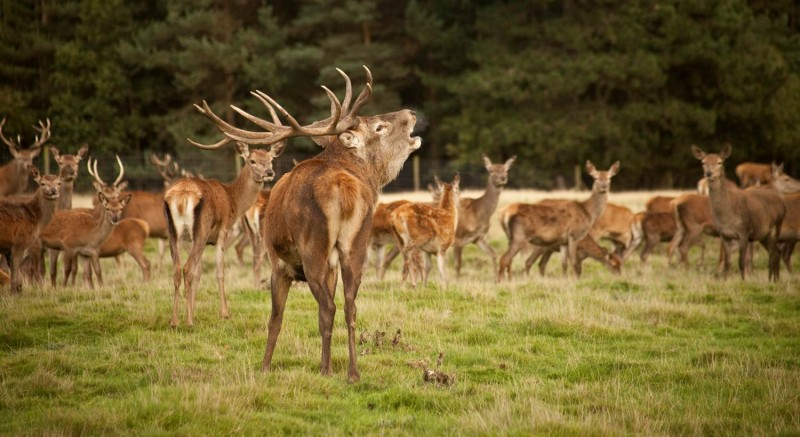 Tatton's deer rut
